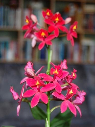 orkide uden jord